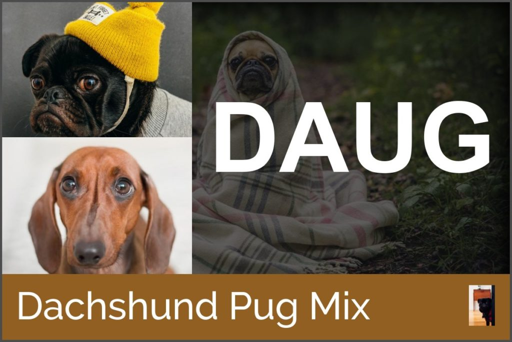 pug mixes with Dachshund